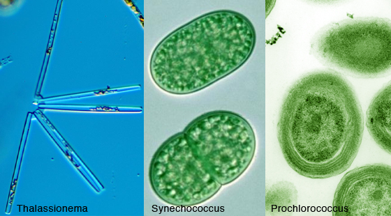 With names like Thalassionema, Synechococcus, and Prochlorococcus, these microscopic organisms are hard for people to connect with, but they are the foundation of life on our planet.