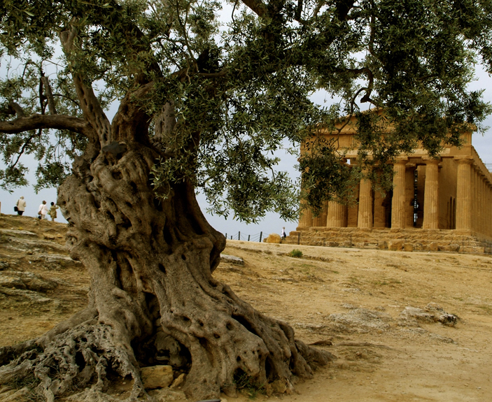 Ancient olive tree in Sicily