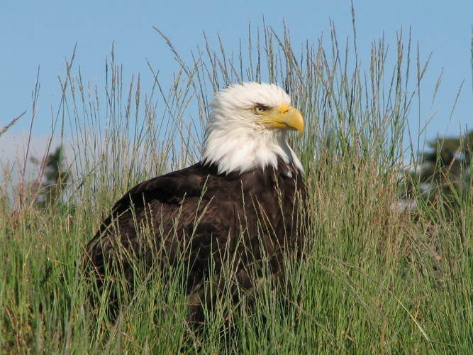 Alaska's wildlife includes grizzlies, moose, humpbacks, and bald eagles.
