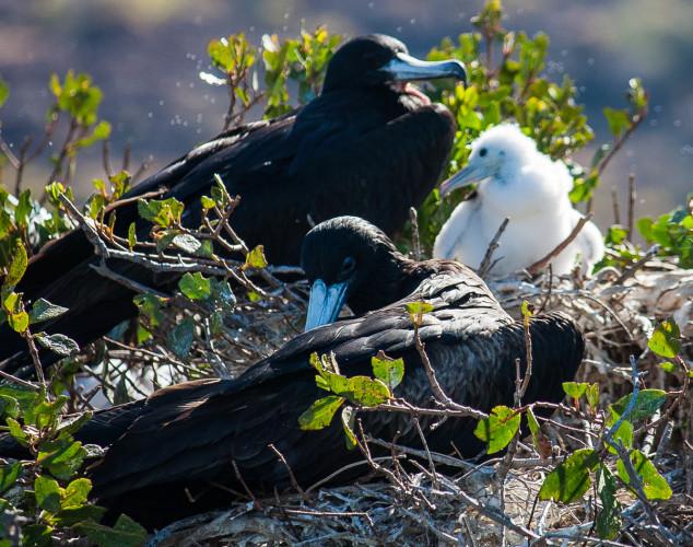 Frigate colony and chick, Bahia San Gabriel, La Paz