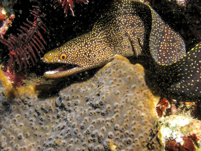 Moray eel in the reef.